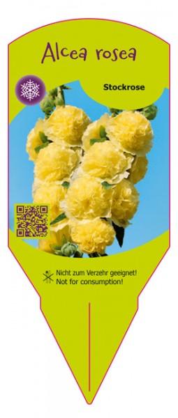 Alcea rosea gelb