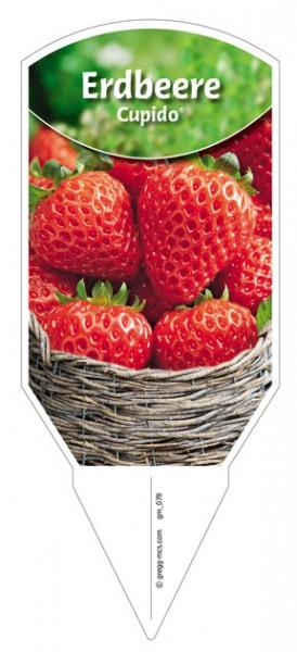"""Erdbeere """"Cupido"""""""