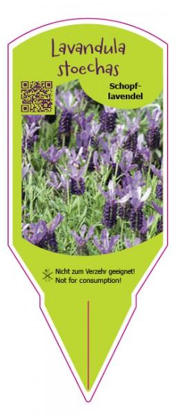 Lavandula stoechas purple