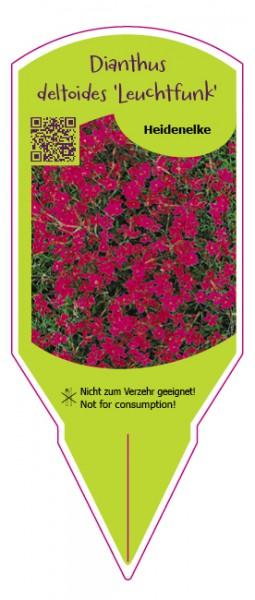 """Dianthus deltoides """"Leuchtfunk"""""""