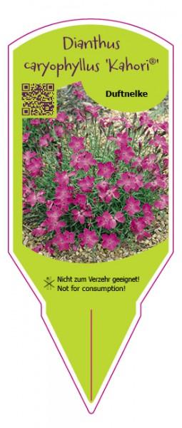 Dianthus caryophyllus Kahori
