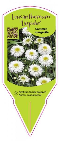 """Leucanthemum maximum """"Laspider"""""""