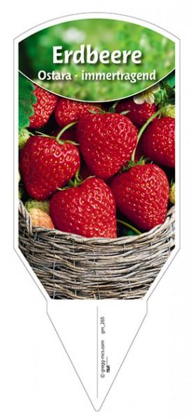 """Erdbeere """"Ostara"""""""