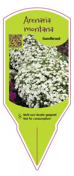 Arenaria montana weiß