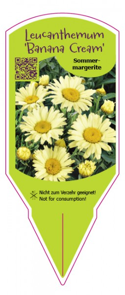 "Leucanthemum maximum ""Banana Cream"""