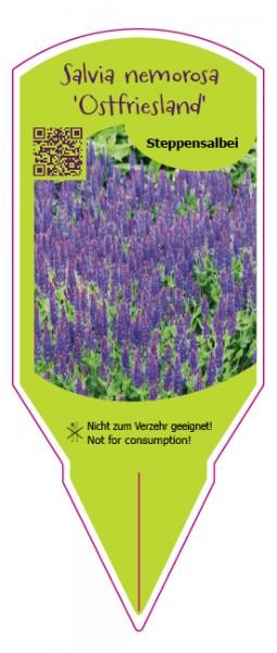 "Salvia nemorosa ""Ostfriesland"""