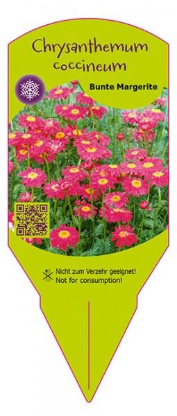 Chrysanthemum coccineum 'Pyrethrum'