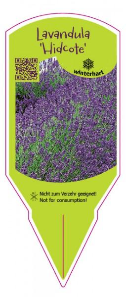Lanvandula angustifolia 'Hidcote'