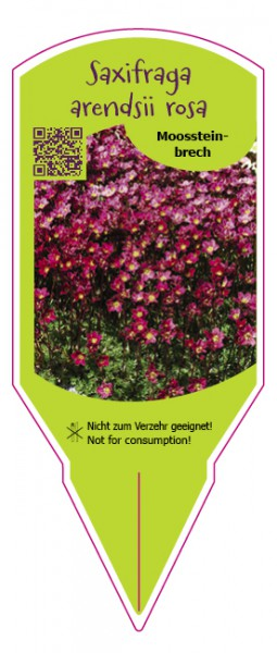 Saxifraga arendsii rosa