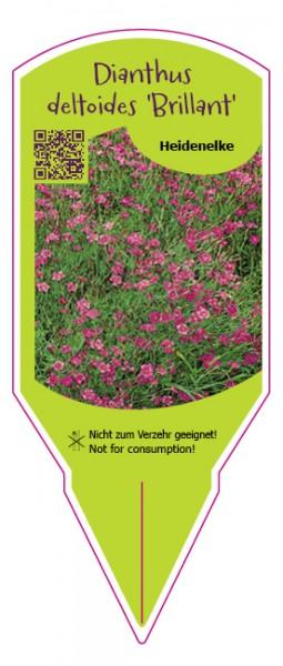 "Dianthus deltoides ""Brillant"""