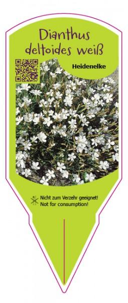 Dianthus deltoides weiß
