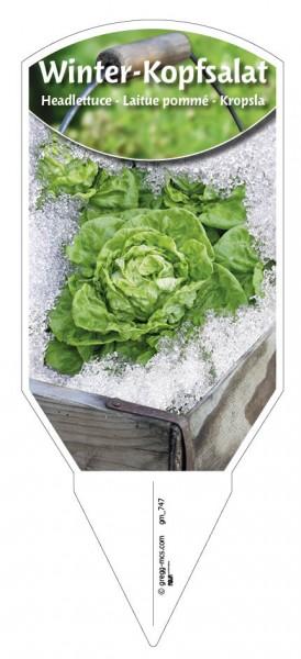 Winter-Kopfsalat