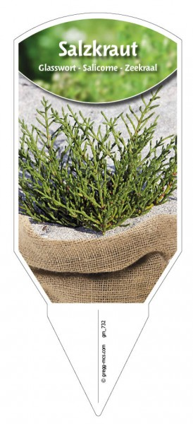 Salzkraut Salicornia
