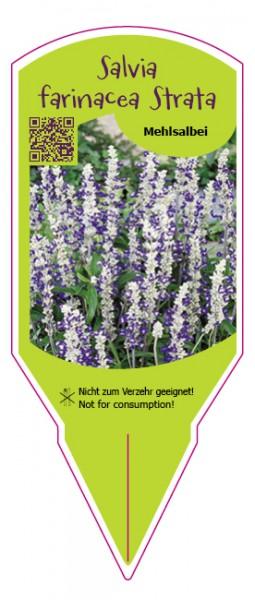 Salvia farinacea Strata