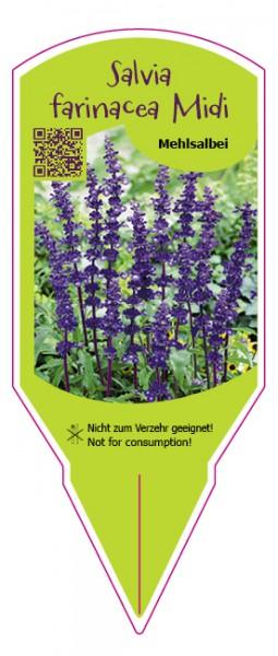 Salvia farinacea Midi