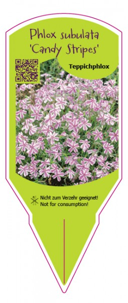"Phlox subulata ""Candy Stripes"" (""Mikado"")"
