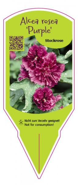 Alcea rosea Purple