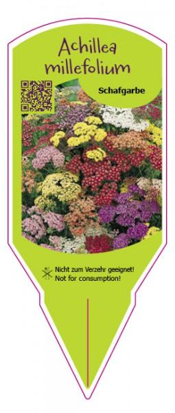 "Achillea millefolium ""Summer Pastels"""