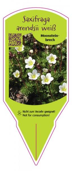 Saxifraga arendsii weiß