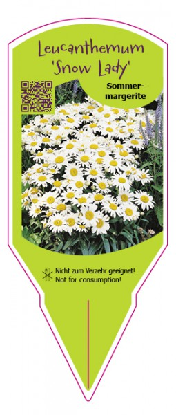 "Leucanthemum maximum ""Snow Lady"""
