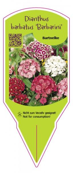 Dianthus barbatus Barbarini Mix