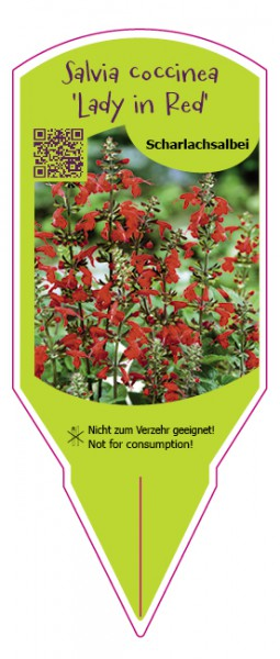 "Salvia coccinea ""Lady in Red"""