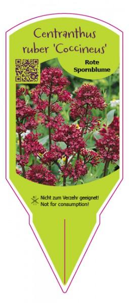 """Centranthus ruber """"Coccineus"""""""